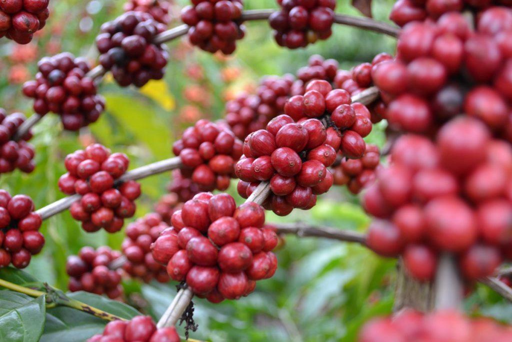 Кофе Коста-Рика Тарразу арабика