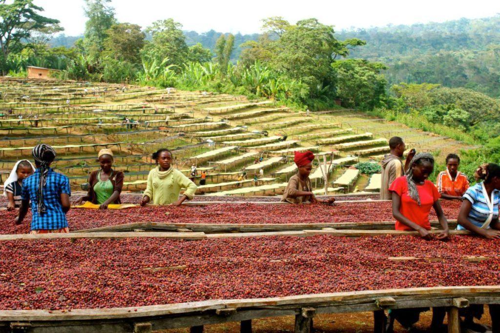 Кофе Эфиопия Сидамо арабика имеет богатый вкусовой спектр