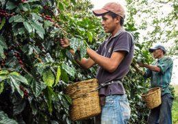 Сбор кофе Гондурас арабика