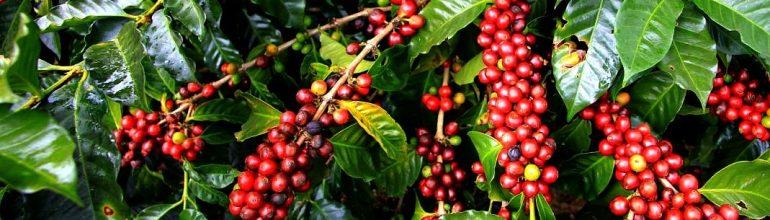 Срок жизни кофейного дерева