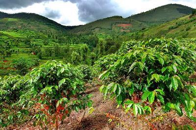 Свежеобжаренный кофе Кения АА