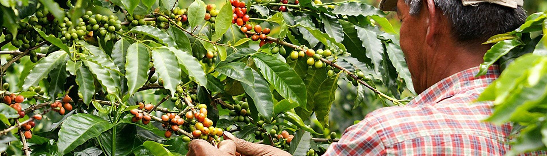Где выращивают кофе?